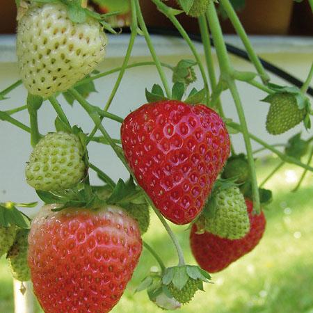 Erdbeeren-Pflanzen für den Anbau auf Balkon, Terrasse und Garten