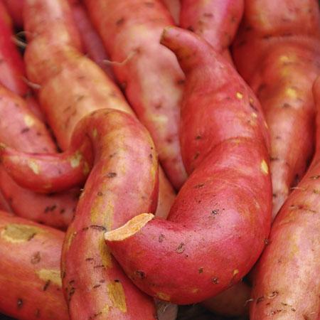 Süßkartoffeln für den Anbau auf Balkon, Terrasse und Garten